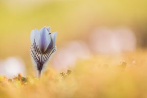 Frühlings-Küchenschelle (Pulsatilla vernalis)