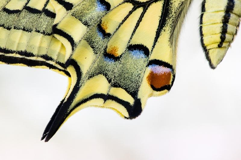 Schwalbenschwanz