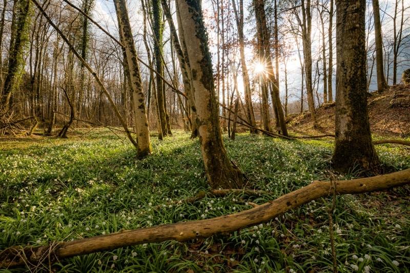 Märzenbecher-Wald