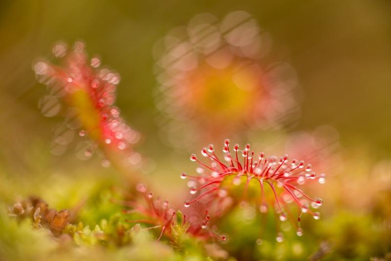 Sonnentau (Drosera rotundifolia)