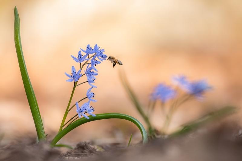 Blaustern (Scilla bifolia)