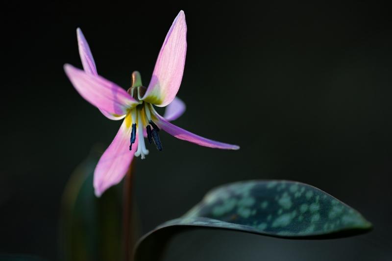 Hundszahnlilie (Erythronium dens-canis)