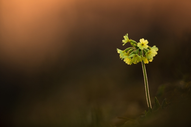 Schlüsselblume (Primula veris)