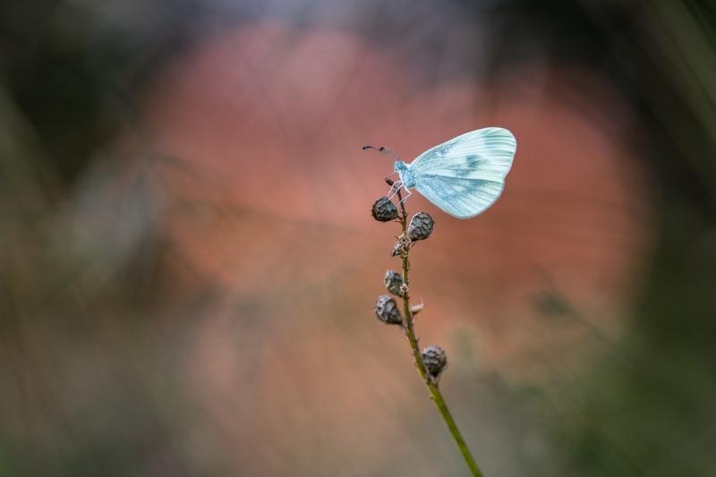 Tintenfleck (Leptidea sp.)