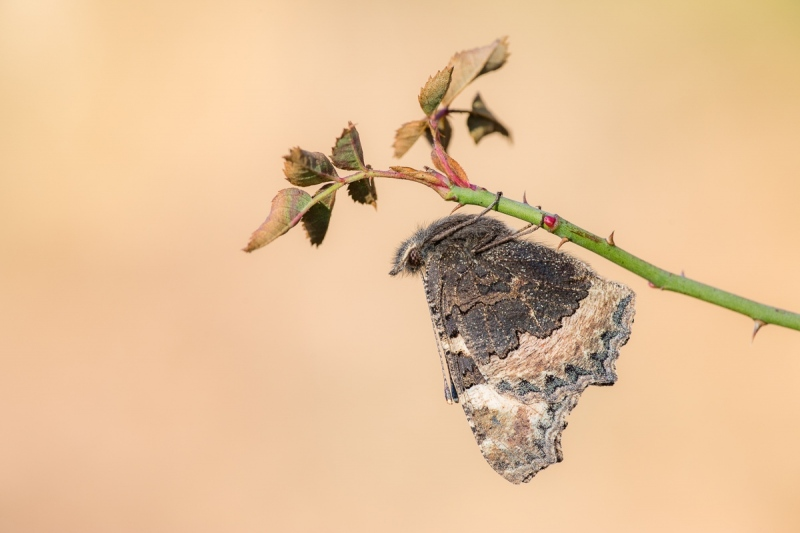 Kleine Fuchs (Aglais urticae)