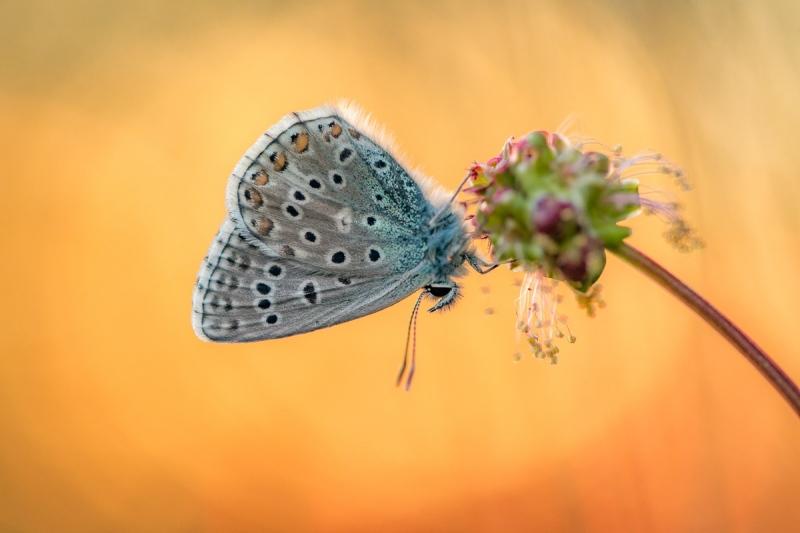 Himmelblauer Bläuling (Polyommatus bellargus)