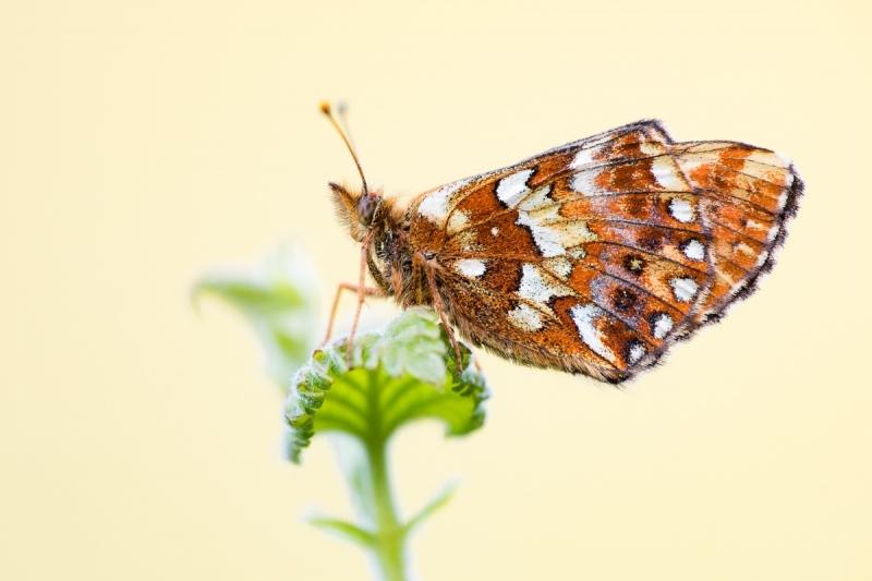 Hochmoor-Perlmuttfalter (Boloria aquilonaris)