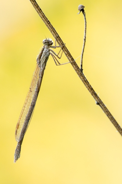 Winterlibelle (Sympecma fusca)