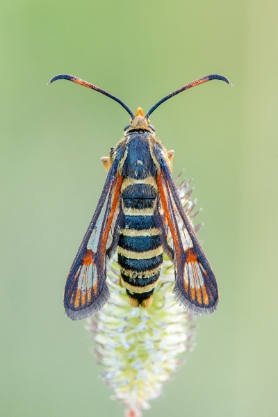 Hornklee-Glasflügler (Bembecia ichneumoniformis)