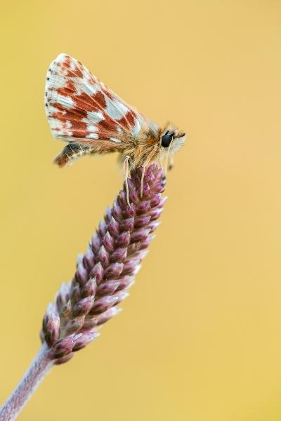 Roter Würfel-Dickkopffalter (Spialia sertorius)