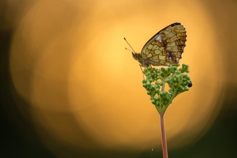 Violetter Silberfalter (Brenthis ino)